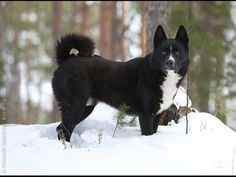 Karelian bear dogs bred for hunting bears are now helping save bears. Bear Dog Breed, Dog Breeds, Bear Attack, Big Game Hunting, War Dogs, Different Dogs, Working Dogs, Black Bear, Go Outside
