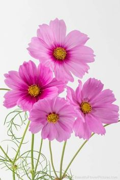 Pink Cosmos © 2014 Patty Hankins In my continuing adventures photographing flowers in the studio – photographing cosmos was definitely a learning experience. The cosmos are such delicate flowers that it was challenging to ge… Cosmos Flowers, Flowers Nature, Pretty Flowers, Spring Flowers, Flowers Perennials, Planting Flowers, Flowers Garden, Diy Flowers, Unique Flowers