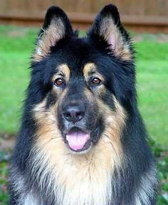 one of my bests: long haired german shepherd