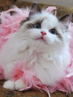 When talking about beautiful cats, ragdoll cat is definitely one of them. Ragdoll cat is a large-sized, smart cat breed with semi-long coat originating from California in Ragdolls are pointed breed which means their bodies are lighter in colors tha Cute Cats And Kittens, I Love Cats, Crazy Cats, Kittens Cutest, Cute Fluffy Kittens, Gatos Ragdoll, Gatos Cats, Ragdoll Cats, Bengal Cats
