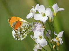 katedaviesdesign:      Orange tip butterfly ©Kate Davies Design