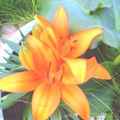 Asiatic Lilly: I have a whole rainbow of these planted. cant wait for them to bloom