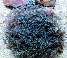 Ice Blue/Silver Pulsing Xenia Soft Coral