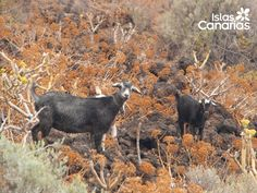 Goats of El Hierro
