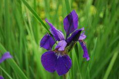 Favorite Purple Iris