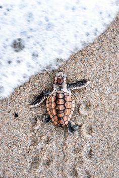 Loggerhead hatchlings can emerge from their nests in a variety of different colors.  I\'ve seen plenty of black, brown, white and tan hatchlings but this particular turtle was born with a vibrant orange color that I had never seen before.  Lucky for me, the sand was soft enough for the turtle to leave its tracks as it hustled to the ocean to make the photos composition more interesting.  I was able to capture the moment just before a wave surged in and welcomed the vibrant beauty to the sea.