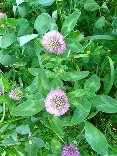 KONICZYNA ŁĄKOWA Trifolium pratense  [ang: red clover, fr: trefle commun, niem: Rotklee]