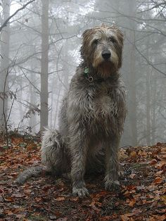 Irish Wolfhound. In his element. #dog http://www.annabelchaffer.com/categories/Dog-Lovers-Gifts/