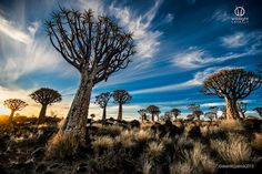 Quiver tree forest Namibia by Wildlight  Safaris on 500px