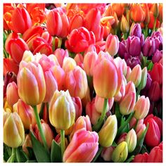 Tulips on a sunny afternoon. LiveColorfully.