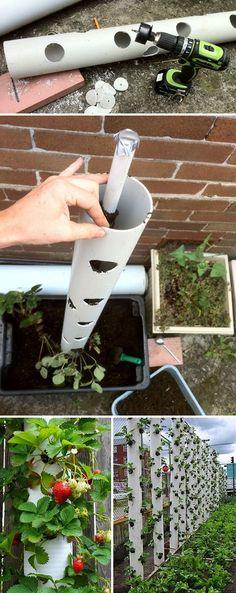 Grow Strawberries In Vertical PVC Tubes