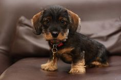 Another Wire-haired Dachshund puppy. When I get one, it'll be a little boy named Strauss. Dapple Dachshund, Long Haired Dachshund, Dachshund Puppies, Dachshund Love, Corgi Dog, Baby Puppies, Pet Dogs, Dogs And Puppies, Doggies