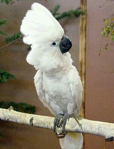 Cacatúa blanca (Cacatua alba). Es un ave psitaciforme de la familia Cacatuidae endémicade ciertas islas del archipiélago indonesiode lasMolucas septentrionales.