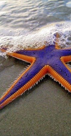 Purple and Orange Starfish on the Beach...More and more beautiful, every time I see it.