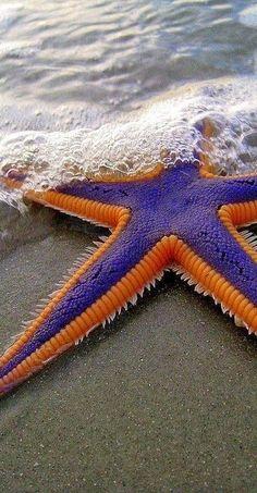 Estrela do mar, roxa e laranja.