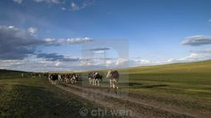 Cows were grazing on grassland