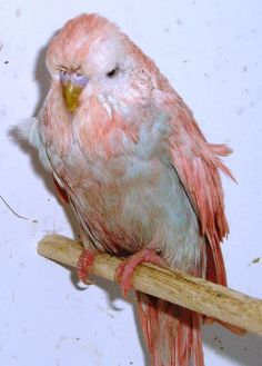 pink budgie bred from violet and blue www.budgerigars.co.uk forum aprilthefirstbudgies028 Budgies, Parrot, Bird, Animals, Parrot Bird, Animales, Parakeets, Animaux, Birds