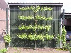 Druiven aan de pergola google zoeken garden pinterest zoeken google en pergola 39 s - Toren voor pergola ...