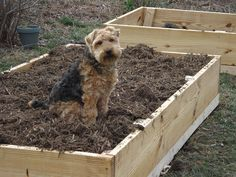 """I just finished planting and I already grew an organic Welsh terrier.""   Filling your raised beds? Use the Soil Calculator to figure out how much soil you need.  http://www.gardeners.com/Soil-Calculator/7558,default,pg.html?utm_source=pinterest.com_medium=referral_term=learn_content=pin_campaign=dog-in-garden"