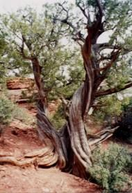 Juniper trees respond to the sedona's vortex energy in a physical way that reveals where this energy is strongest.  Instead of going straight down the branch, the lines of growth follow a slow helical spiral along the length of the branch This spiraling effect can sometimes even bend the branch itself