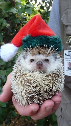 All dressed for Christmas Hedgehog.  Too bad I don't know anyone that owns a hedgehog!  This is the cutest thing!