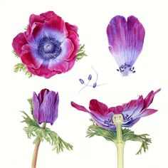 Folio - Illustration Agency | Carolyn Jenkins - Watercolour - Painterly - Botanical - Horticultural - Photorealism illustrator | Anemone