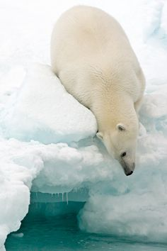 A polar bear rests on a floating iceberg in the Arctic Ocean by Marco Gaiotti