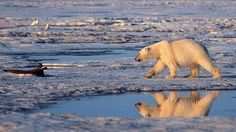 A polar bear walks in the Arctic National Wildlife Refuge surrounded by melting sea ice. The Tipping Point, Sea Ice, Environmental Issues, Global Warming, Natural World, Polar Bear, Climate Change, Arctic, The Past