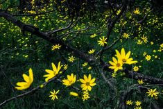 """I don't know much about flora. Google says they are called """"Bidens steppia"""". All that I know for sure is that bees love them, and at dawn they make the fields look like a clear sky filled with yellow stars.  #InnerLightLeaks #flowers #Africa"""
