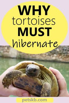 Do Tortoises Have to Hibernate? - Yes they do and you'll see why in this article, along with everything you need to know to ensure your tortoise has a safe hibernation. Horsefield Tortoise, Red Footed Tortoise, Tortoise Table, Sulcata Tortoise, Outdoor Tortoise Enclosure, Turtle Care, Russian Tortoise, Tortoises, Exotic Pets
