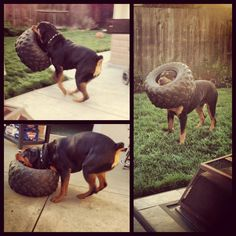 My rottweiler Toretto The most beautiful Rottweiler photos. I enjoy these attractive pets. Love My Dog, Rottweiler Love, Rottweiler Puppies, Rottweiler Facts, Beagle, German Rottweiler, Pit Bulls, Big Dogs, Cute Dogs