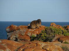 A dassie at Fransmanshoek, Western Cape, South Africa.