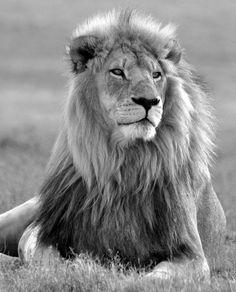 Leeuw in Z-Afrika - foto gemaakt in West-Kaap, Zuid-Afrika