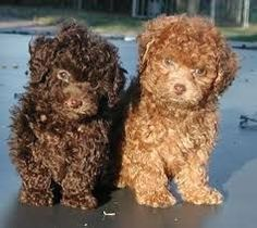 Oh I want a little boy(brown) and a little girl(gold)! How sweet! Cute Baby Puppies, Cute Dogs, Dogs And Puppies, Doggies, Baby Animals Pictures, Animals And Pets, Cute Animals, Animal Pics, Maltese Poodle
