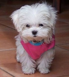This sweet little Maltese takes my breath away.
