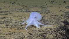 An underwater research craft has spotted a 'ghost-like' octopus that appears to belong to a previously unknown species on the ocean floor near Hawaii, a milky-white creature nicknamed 'Casper the Friendly Ghost. Kraken, Octopus Species, Ghost Cartoon, Especie Animal, Flora Und Fauna, Sea Floor, Casper The Friendly Ghost, Deep Sea Creatures, Paris Match
