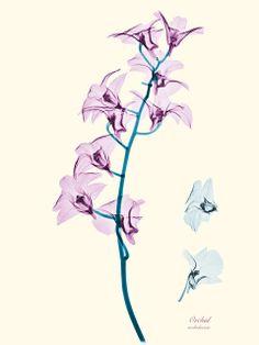 Flores bajo la luz de los Rayos X (Orquidea)