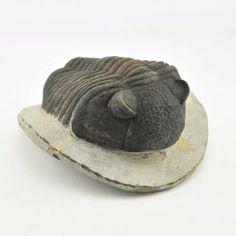 Fossil Trilobite