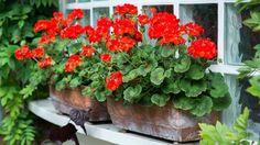 Na prezimovanie budú sadenice muškátov potrebovať menej miesta ako veľké materské rastliny. Geraniums, Container Gardening, Plants, Garden, Belle, Lawn And Garden, Plant, Container Garden, Planets