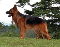 I love German shepherds Long Haired German Shepherd, German Shepherd Names, German Shepherds, Beautiful Dogs, Animals Beautiful, Loyal Dogs, Schaefer, Golden Retriever, Dogs And Puppies