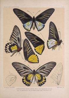 n266_w1150 | Icones ornithopterorum :. [London] :Published b… | Flickr