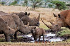 A group of white rhino meeting at a waterhole. Lewa Wildlife Conservancy, north Kenya.
