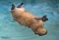Some capybaras like to swim… | After Looking At These Photos You Will DEFINITELY Want A Capybara