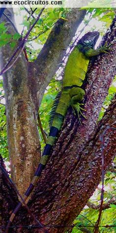 Green Iguana, spotted at our office in Panama City! www.ecocircuitos.com