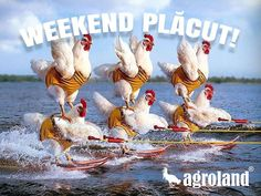 Skiing Chickens Wallpaper from Funny pictures! A weird concept of skiing chickens, funny pic. Pet Chickens, Raising Chickens, Chickens Backyard, Chicken Race, Funny Animals, Cute Animals, Chicken Humor, Funny Chicken, Coq