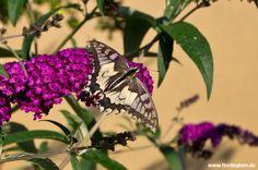 #Schmetterlingsstrauch #Schmetterlingsflieder #Sommerflieder #Buddleja davidii http://www.florilegium.de/blog/pflanzen/blumen-im-garten/schmetterlings-oder-sommerflieder-buddleja-davidii.html