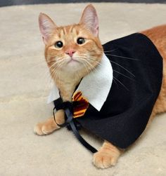 You guys. It's an orange cat dressed as Harry potter. YOU GUYS. I DONT THINK YOU UNDERSTAND. ORANGE CAT. HARRY POTTER. I NEED THIS CAT.