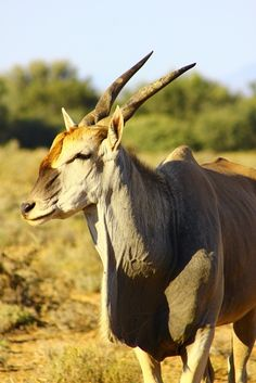 Big five Safari close to Cape Town. Inverdoorn and Iziba Safari Lodge. National Animal, Deer Family, Impala, Cape Town, Safari, Wildlife, African, Meet, Horses