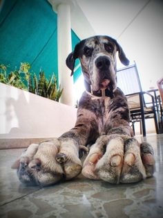"Gives new meaning to ""#Big #Foot""...  #Great #Dane #dog"