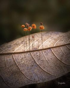 Fungi growing on dead leaf Tiny Mushroom, Mushroom Art, Mushroom Fungi, Growing Mushrooms, Wild Mushrooms, Stuffed Mushrooms, Slime Mould, Plant Fungus, Foto Art